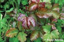 Poison oak plant image