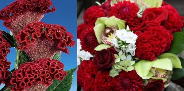COXCOMB Colours: Red, pink, orange, yellow, purple and white Growing Season: Summer to fall. Why We Love It: This flower's rich colours and interesting texture make it a prime pick for a glamorous early autumn wedding.