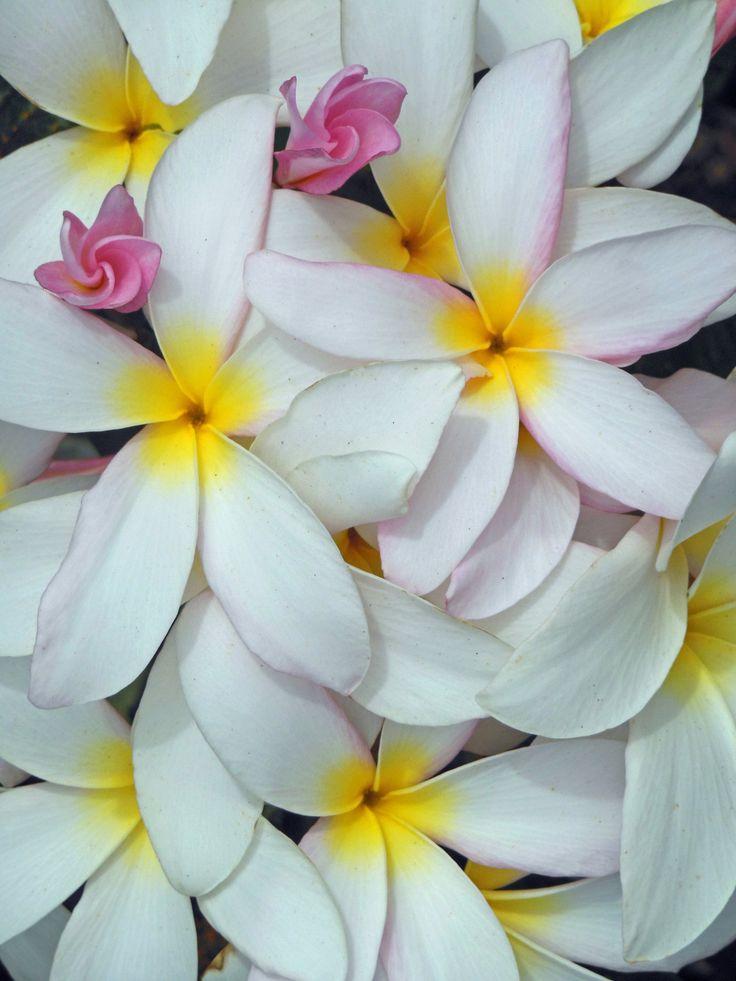 17 meilleures id es propos de fleurs de plumeria sur for Fleurs livres a domicile