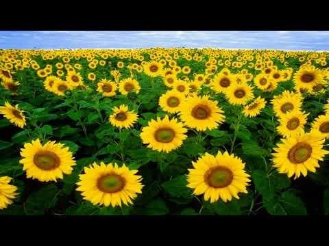 Sunflower - a genus of plants
