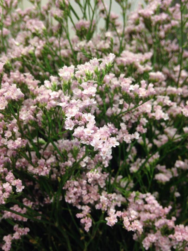 Norsk navn: Statice Botanisk navn: Limonium 'Pink Emille'