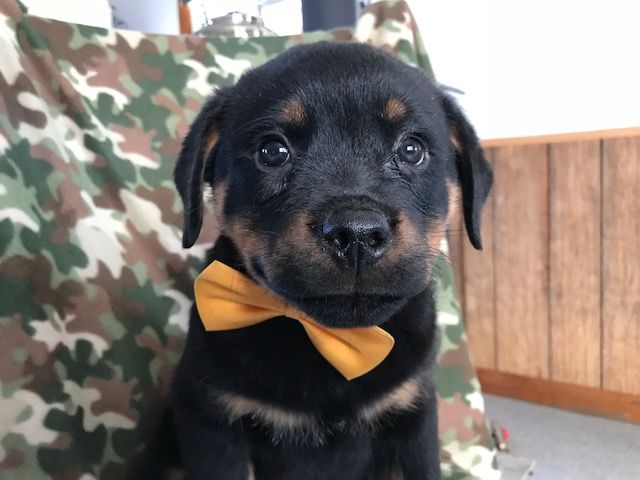 Rottweiler Puppy For Sale In Quarryville Pa Adn 52748 On