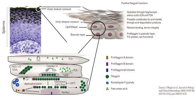 THE BRAINY BEAUT: FACTSHEET | HUIDVERZORGING | SODIUM PCA – Sodium Pyrrolidone Carboxylate – AJIDEW® NL-50