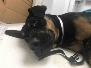 TOTO - SUPER URGENT BROOKLYN **NEEDS PLACEMENT - TODAY**07/25/17 - TOTO – A1119689 - **PELVIC FRACTURE, REPORTEDLY HBC** MALE, BLACK / BROWN, ROTTWEILER MIX, 1 yr STRAY – STRAYAVAI, NO HOLD Reason STRAY Intake condition UNSPECIFIE Intake Date 07/25/2017, From NY 11419, DueOut Date 07/28/2017,