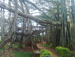 Google Image Result for http://upload.wikimedia.org/wikipedia/commons/thumb/0/0d/Big_Banyan_Tree_at_Bangalore.jpg/250px-Big_Banyan_Tree_at_Bangalore.jpg