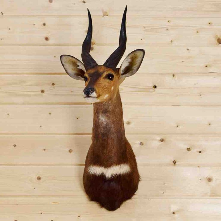 African Cape Bushbuck Taxidermy for Sale - SW4061
