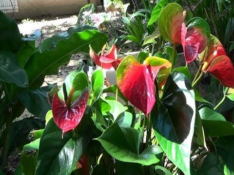 Anthurium, como cuidarlos - YouTube