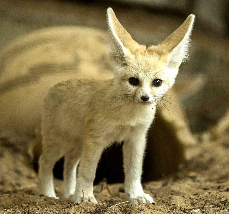 1384 best animals images on pinterest beautiful horses - Pagina da colorare fennec fox ...
