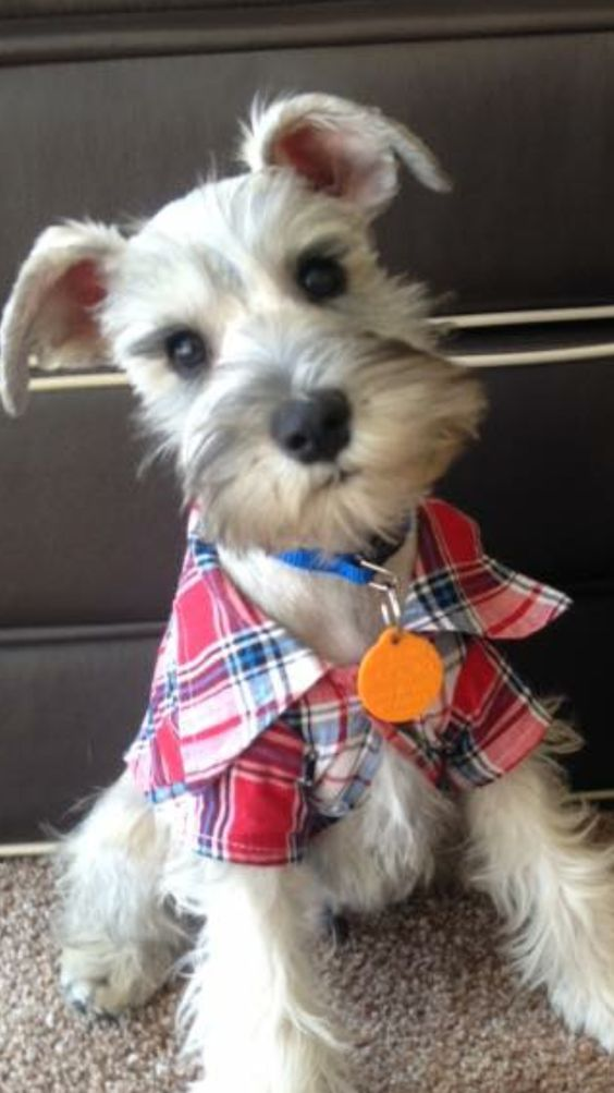 Schnauzer Pup All Dressed Up Schnauzer Puppy Cute