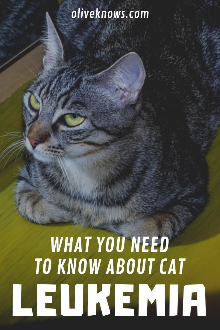 What You Need To Know About Cat Leukemia Oliveknows Cats Cat Training Feline Leukemia