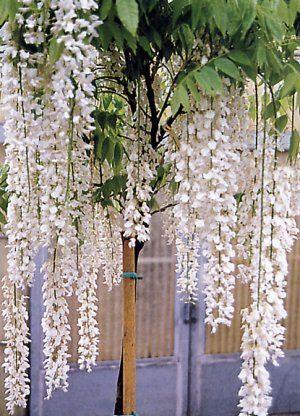 Japanese wisteria....just what my pergola needs!