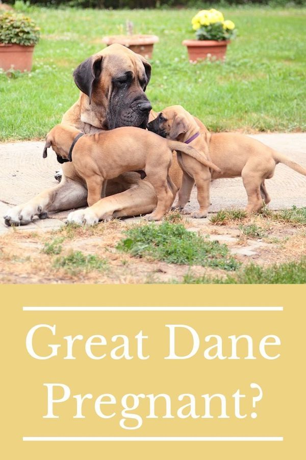 Is My Great Dane Pregnant Pregnant Dog Dane
