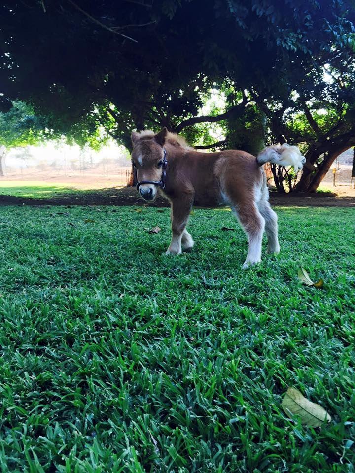 Mini horse foal looks like a toy