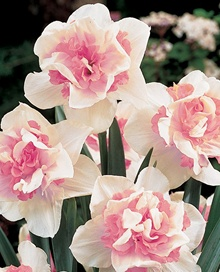 'Replete' Daffodil    Double blooms are peach-pink with snow white .Good naturalizer. Modern gardens face new difficulties, including pressure from our woodland friends, deer. These bulbs are least appetizing to hungry creatures, including deer and squirrels.