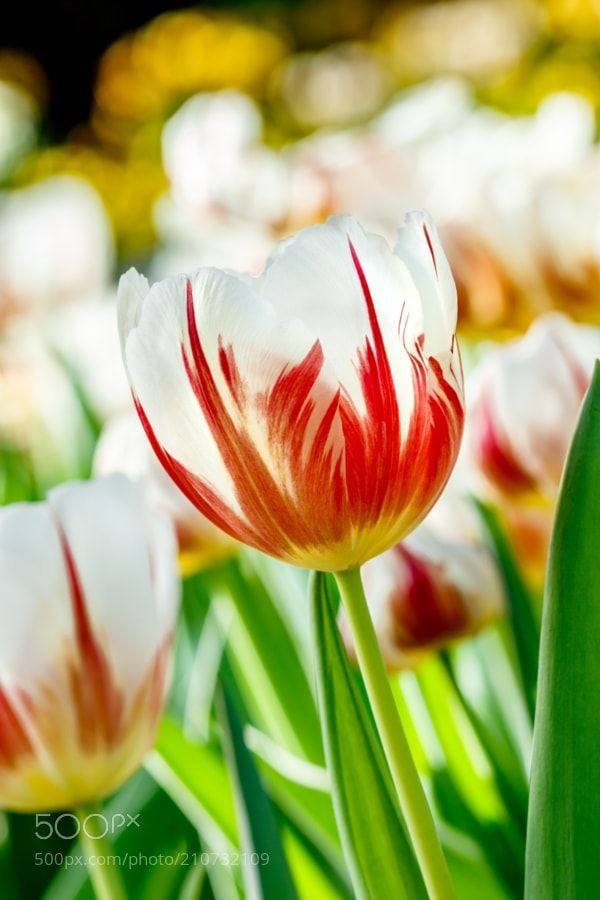 Canada150 Tulip - The Canada 150 tulip also known as the Maple Leaf tulip is the official tulip of the 150th anniversary of Canada.