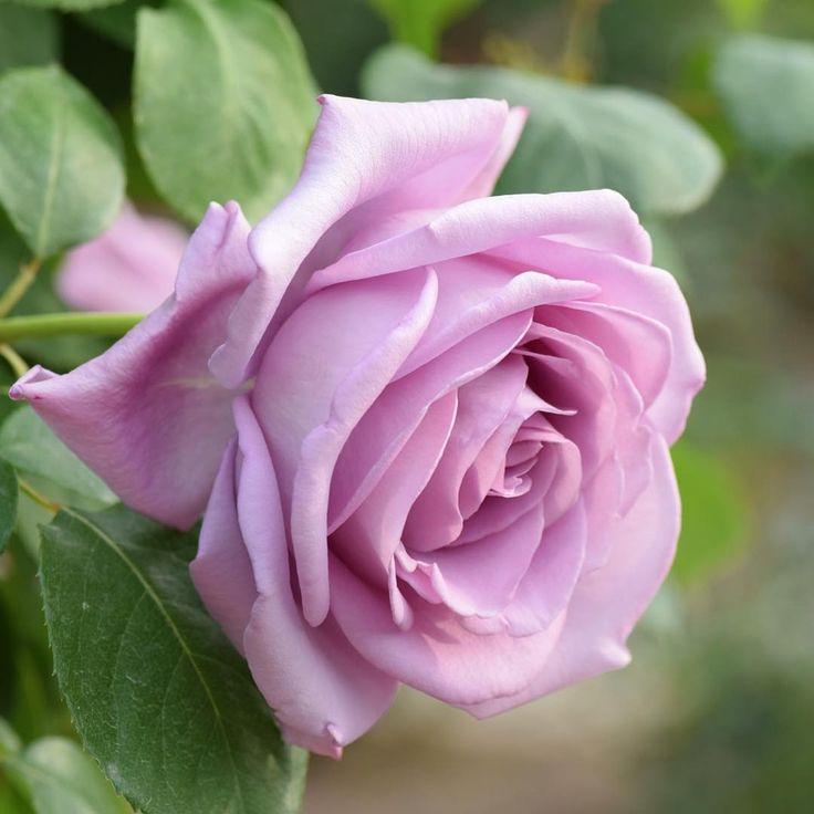 697 отметок «Нравится», 35 комментариев — green (@forestblue3600) в Instagram: «紫の薔薇。 ピンクより落ち着いた印象ね。 でもやっぱりガラスの仮面が浮かんでしまう〜 *  5月21日撮影。 #花フェスタ記念公園 *  #flower #flowers  #nature…»