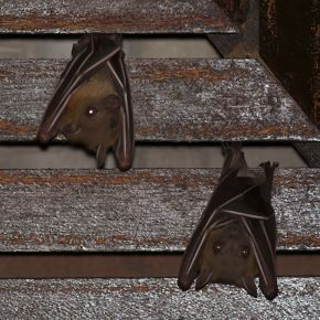 Beautiful Bats In My Basement