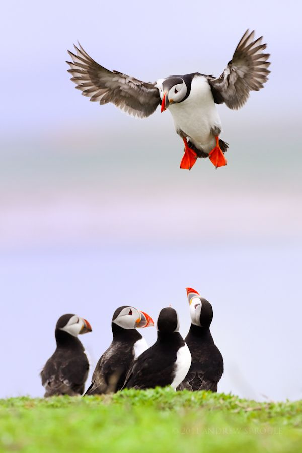 Atlantic Puffin stalling as it comes in to land on the Farne Islands, Northumberland, England