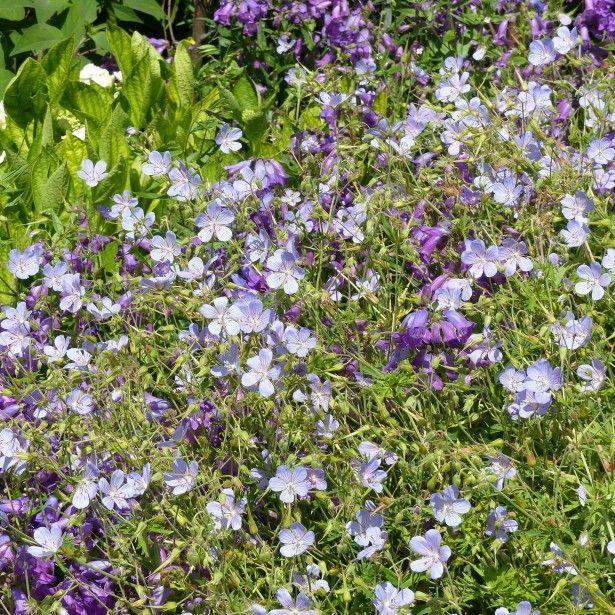 Geranium vivace Blue Cloud