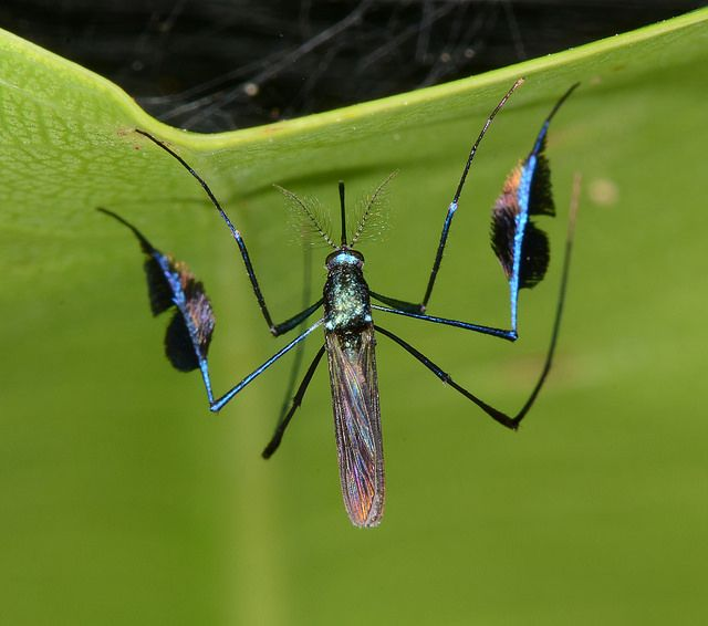 Banner mosquito  Sabetes sp    Flickr   Photo Sharing. 116 best Insects  flies images on Pinterest   Insects  Nature and Bugs