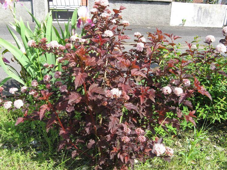 physocarpus opulifolius - Smällspirea  Smällspireor ingår i familjen rosväxter