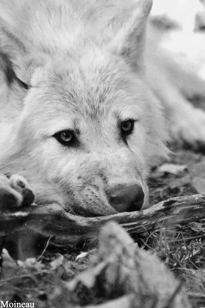 Loup Blanc Plus