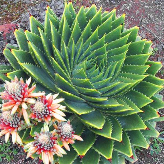 Aloe Polyphylla Succulent Blooms