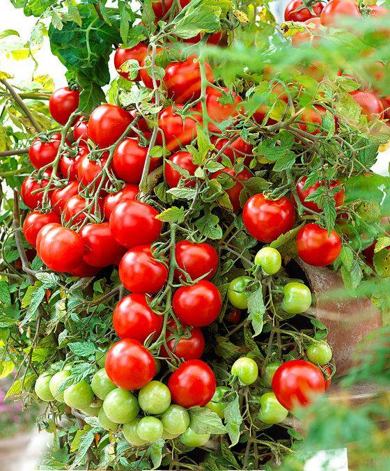 'Tumbling Tom'  Prachtige nieuwe tomaten voor in hangpotten op het balkon of terras! De bossige plant gaat hangen en hoeft dus niet te worden opgebonden of te worden gedieft! Ze zijn het meest geschikt voor in hangende potten of hanging baskets. De grote trossen met heerlijke kleine kerstomaatjes zullen over de rand gaan hangen. De hangende plant met rode kerstomaatjes ziet er dan ook fantastisch uit! Ze geeft een rijke oogst en is gemakkelijk te kweken!  EUR 13.95  Meer informatie