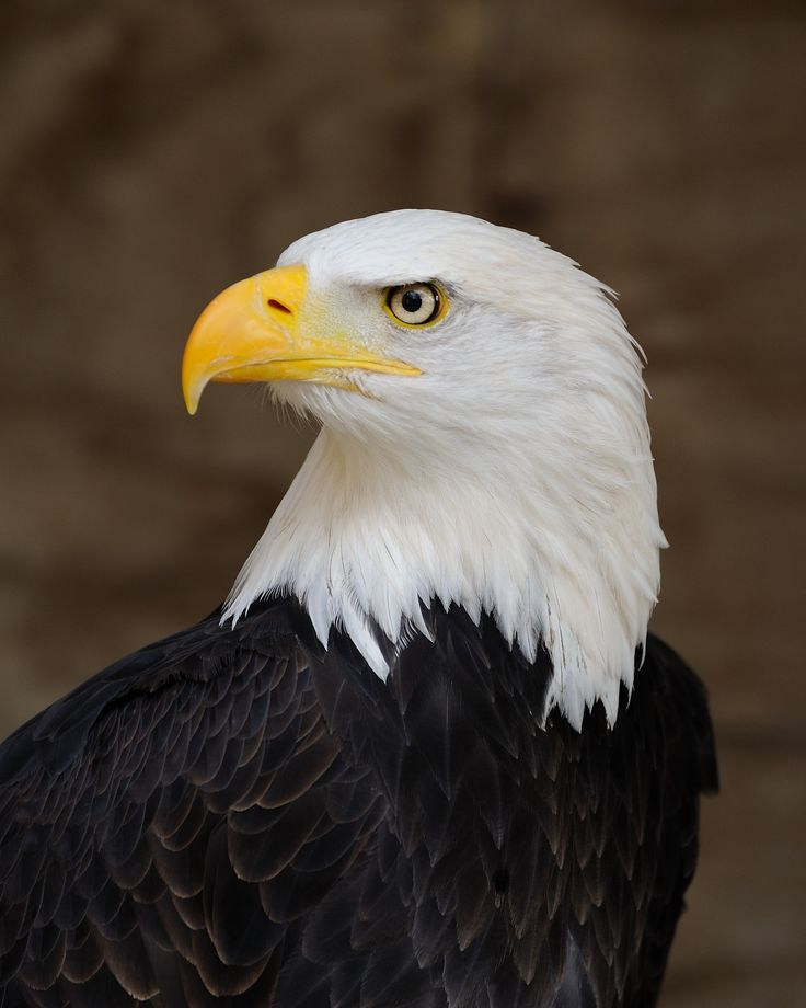 """The Bald Eagle (Haliaeetus leucocephalus) is a bird of prey found in North America. As visible here, adults are not bald, but have a head of white feathers. Its name comes from an older meaning of the word, meaning """"white-headed"""". Photograph: W. Lloyd MacKenzie"""
