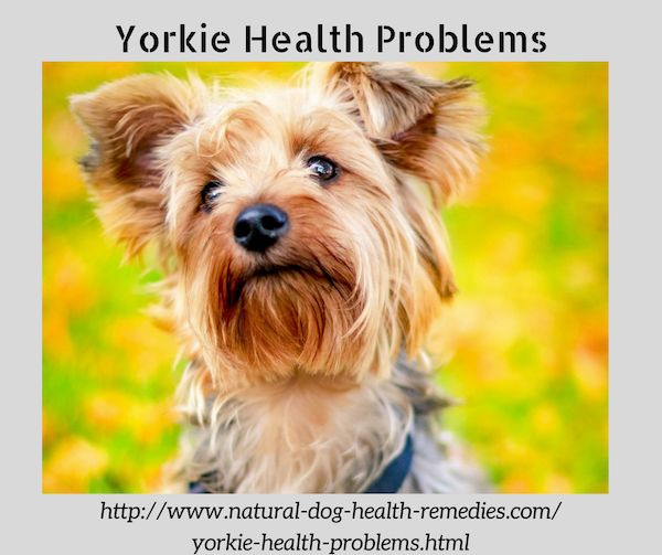 Common health problems found in Yorkies.