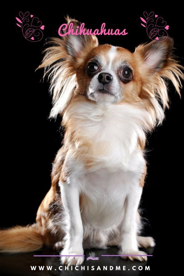 Visit Us For Everything Chihuahua Chihuahua Facts Chihuahua