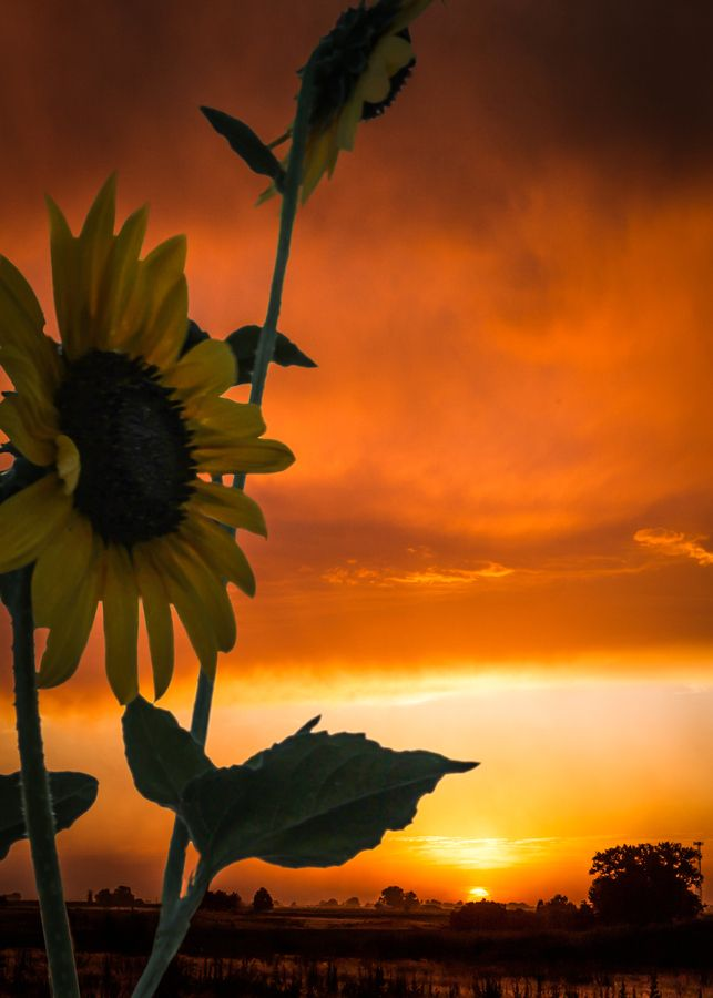 Sunflower At Sunset Art And Photography Pinterest