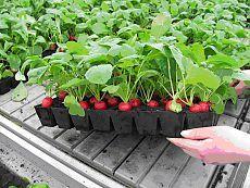 """Редис в паллетах для рассады. Оказывается есть простой и интересный способ выращивания редиса в теплицах или на подоконнике и практически """"не грязный""""."""