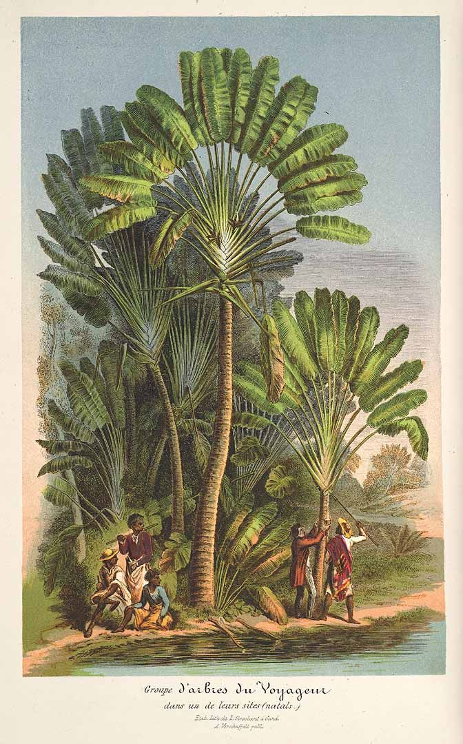 Traveller's Palm - Ravenala madagascariensis - circa 1860 - Not a true Palm - Native to Madagascar - The fan often grows in a north-south line - Can be used as a makeshift compass