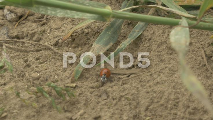 4k Ladybird Bug Walking on Dirt and Grass Insect Animal - Stock Footage   by RyanJonesFilms