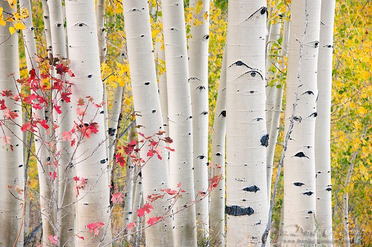 Aspen and Maple by David C. Schultz, via 500px: Aspen Trees, Nature, Beautiful Birches, Beautiful Places, David Schultz, Autumn Harvest, Autumn Trees, Natural, Maple