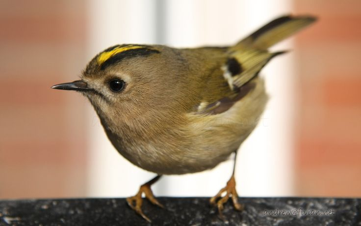 goldcrest regulus regulus uk resident bird very small. Black Bedroom Furniture Sets. Home Design Ideas