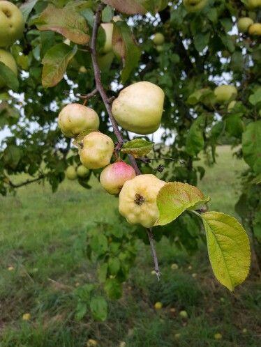 Kwaśne Jabłko  Polish apples