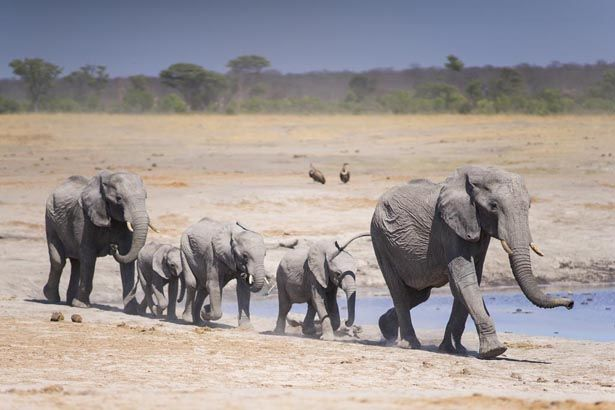 Hwange Elephant Movements – Not Just a Flight of Fashion
