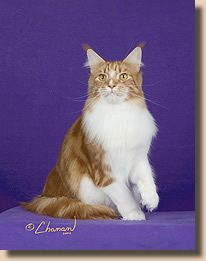 #MaineCoon #Red #Classic #Tabby #White #Cats GP NW Highlander Beautiful Boy of Dreamers