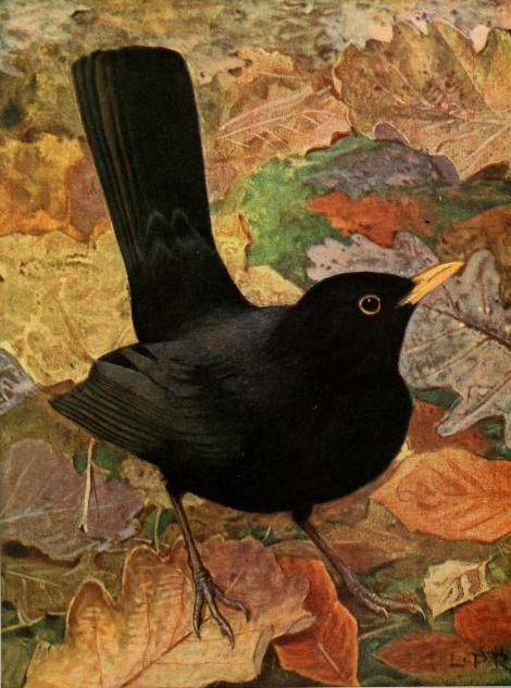 """Blackbirds Crows Ravens:  """"Le Merle Noir"""" (""""The #Blackbird""""). Illustration by Leo Paul Robertfrom """"Les Oiseaux dans la Nature,"""" 1916."""