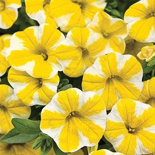 Container Flower Gardening Ideas: the stunning Lemon Slice Calibrachoa: Container Flower Gardening Ideas: Million Bells  Also known as Calibrachoa, Million Bells are extremely pretty, easy to grow, and make a wonderful display