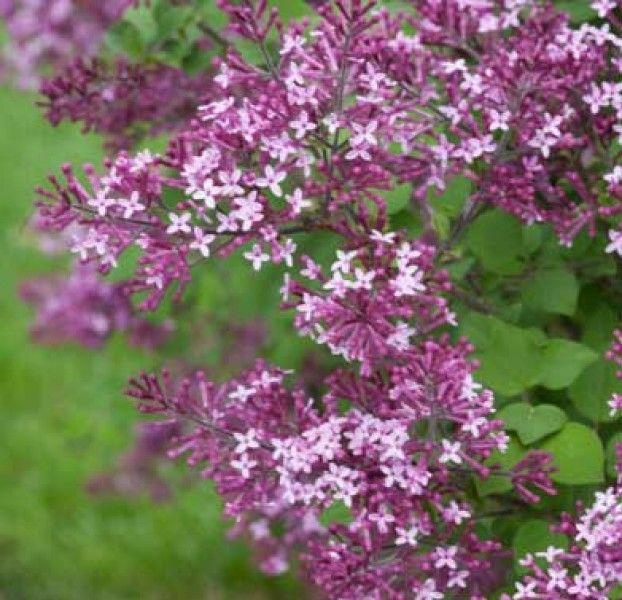 Syringa 'Bloomerang Dark Purple' - Maréchal