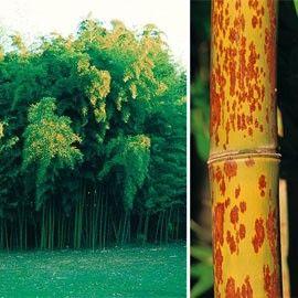 Un bambou aux chaumes tachetées, de dimension variable dont l'attrait apparait dès les jeunes pousses.Pousses comestibles!