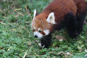Panda roux - Zoo d'Amiens