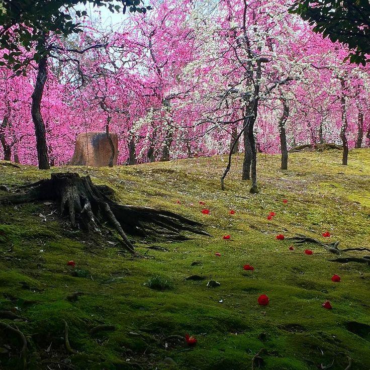 Цветущие сливы Дзёнангу Киото