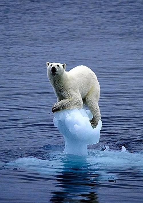 oso polar: Wild Animal, Earth Book, Polar Bears, Animal Kingdom, Climate Changing, Baby Animal, Global Warm, Cute Funny, Ice Bears