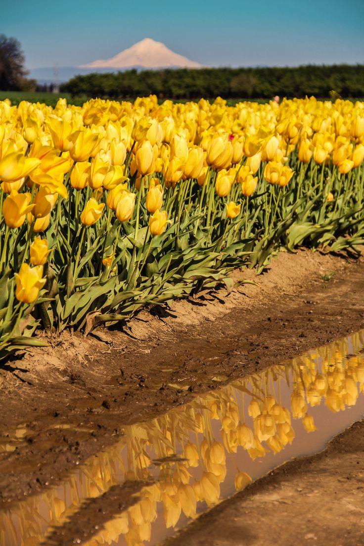 Tulip Field by czechthecount instagram facebook