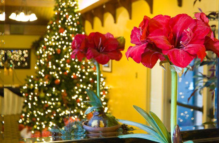 Amaryllis är vår ståtligaste julblomma, men visste du att den från början var en vårvinterblomma? Detta och mer fakta om amaryllisen får du här.