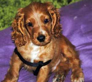 Do you want reliable Cocker Spaniel information? You'll find lots of facts about their temperament, characteristics, history and much more.